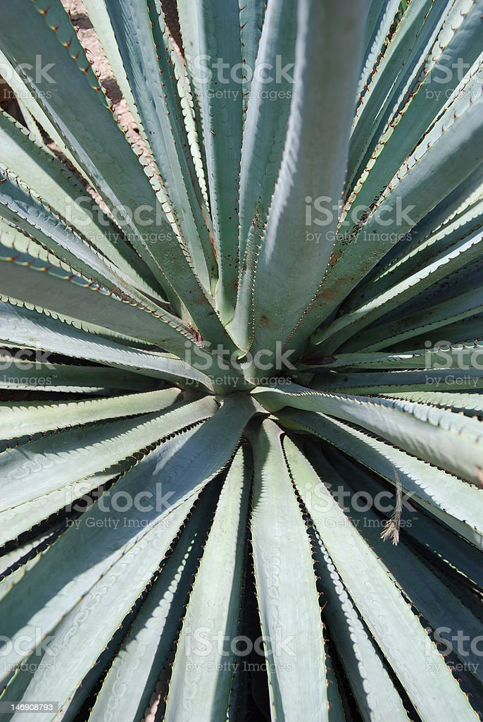 Blue agave  tequila plant stock photo