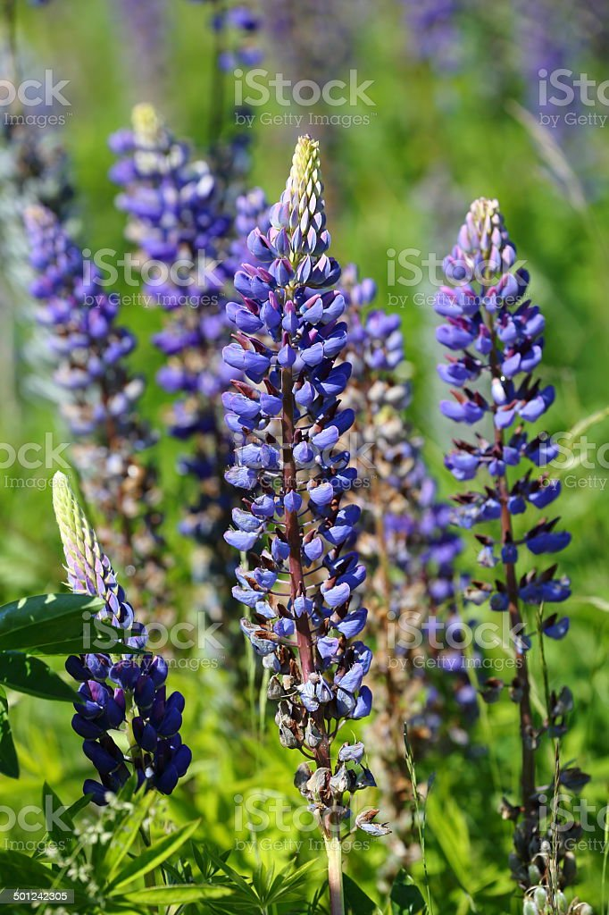Blue Alaska Lupine stock photo