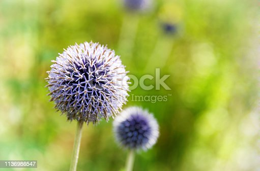 Blue allium flowers in sunlight.