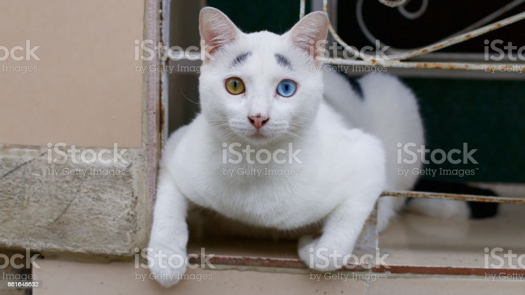 Blue and brown eyed cat in La Havana, Cuba stock photo
