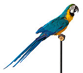 Blue and Gold Macaw Parrot turned profile, the black stand can be cloned out to have the bird perched on just the branch.