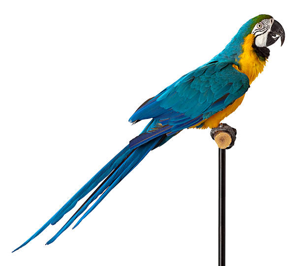 blue and glod macaw parrot - close-up. - green winged macaw stock photos and pictures
