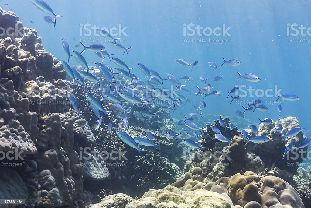 Blue and gold fusilier fish royalty-free stock photo