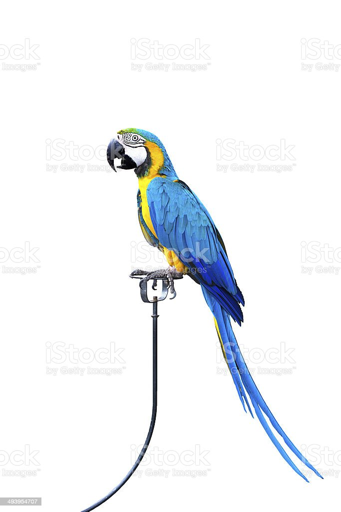 Blue and Gold Macaw aviary, stock photo