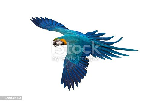 istock Blue and gold macaw flying isolated on white background 1088939208