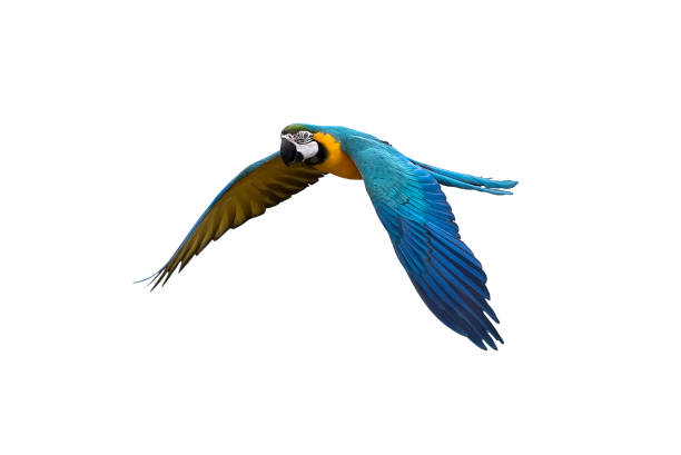 blue and gold macaw flying on white background, clipping path blue and gold macaw flying on isolate background, clipping path parrot stock pictures, royalty-free photos & images