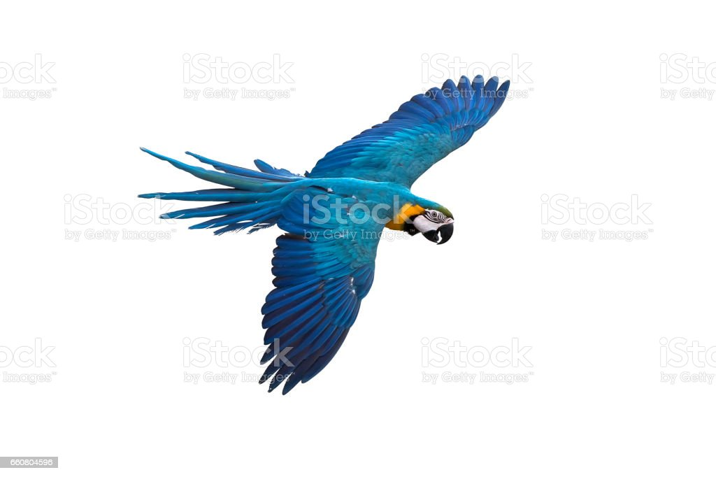 blue and gold macaw flying on white background, clipping path stock photo