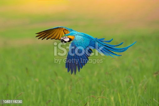 Blue and gold macaw flying on green background, Beautiful bird