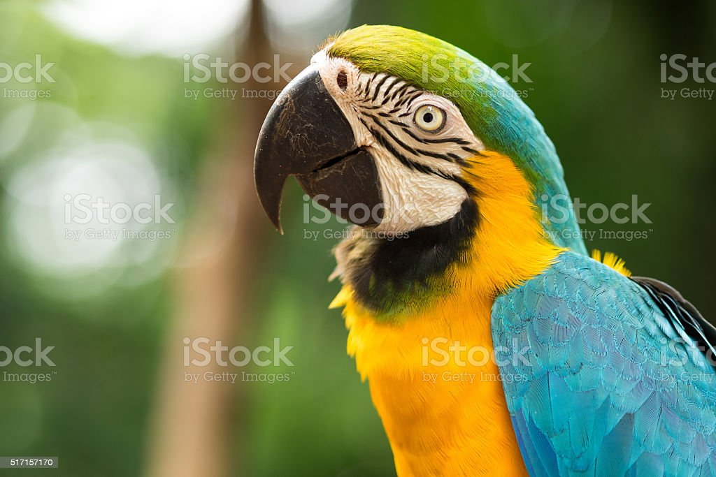 Blue and Gold Macaw in Natural Setting royalty-free stock photo