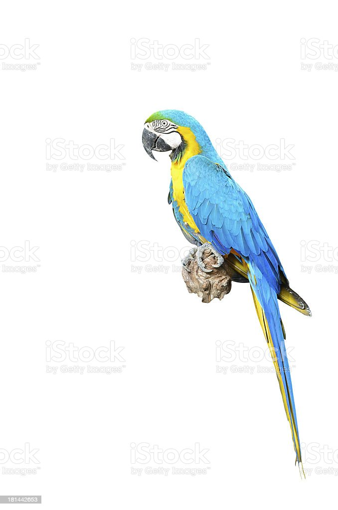 Blue and Gold Macaw isolated royalty-free stock photo