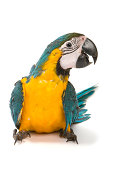 istock Blue and gold macaw on white background 139933885