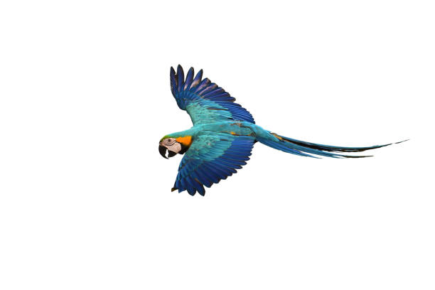 Blue and gold Macaw Blue and gold macaw (Ara ararauna) bird in flight. saturated color stock pictures, royalty-free photos & images