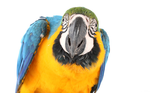 Close up photo photo of a blue and gold macaw showing it's beautiful colourful feathers. Taken against a white background in a studio.