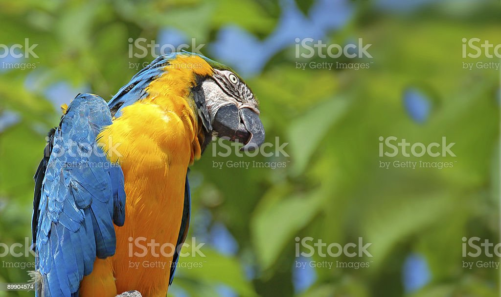 Blue and Gold Parrot royalty-free stock photo