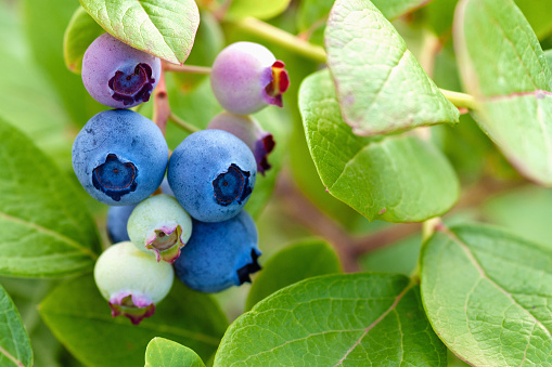 blue and green blueberries on bush closeup, stock photo