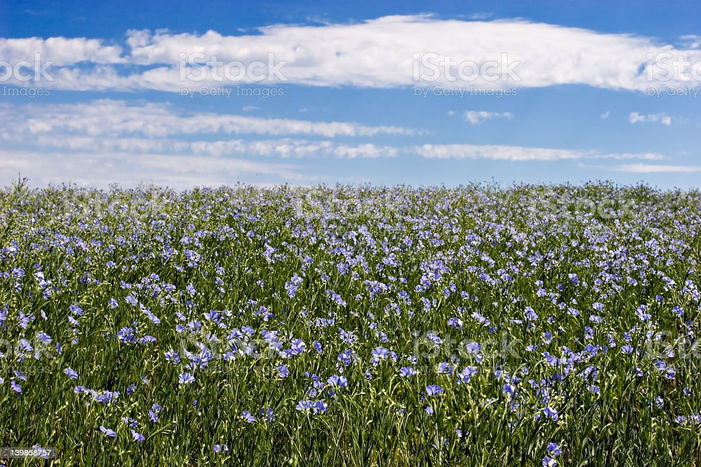 Blue and green field of flax over a blue and white sky royalty-free stock photo