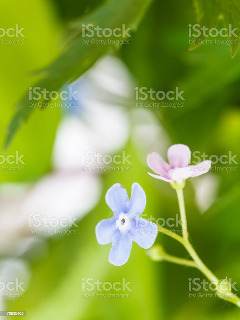 Blue And Pink Forgetmenot Flowers Close Up Stock Photo 476835466