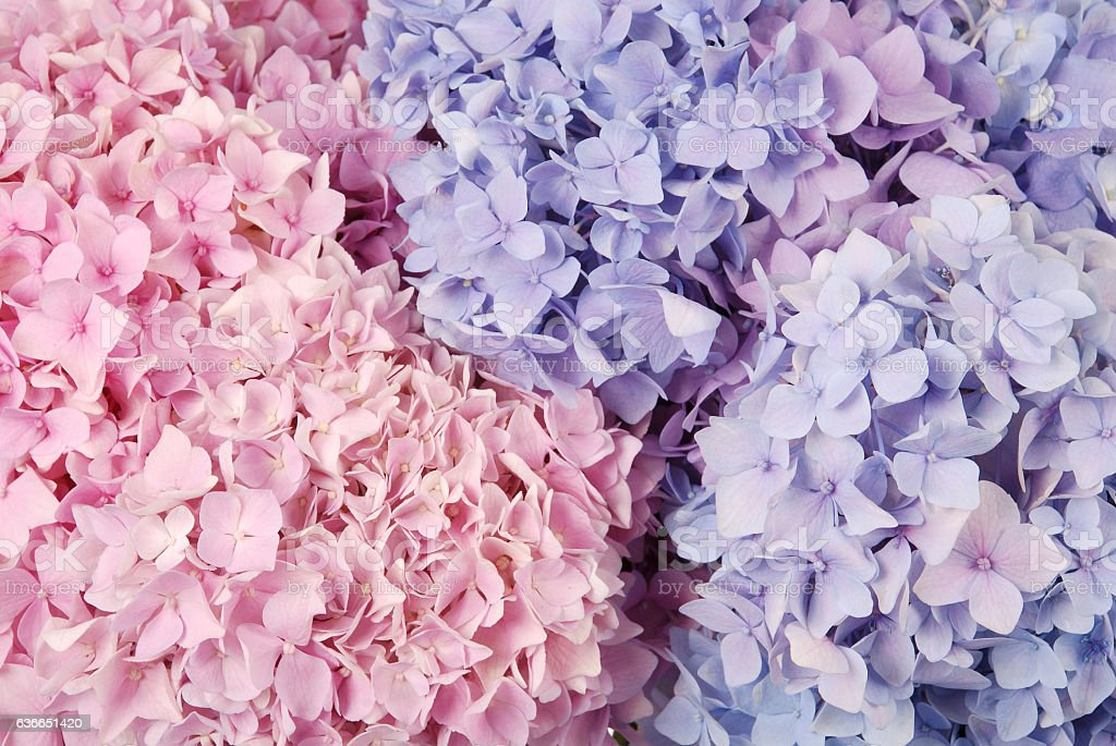 Blue and pink hydrangea macrophylla stock photo