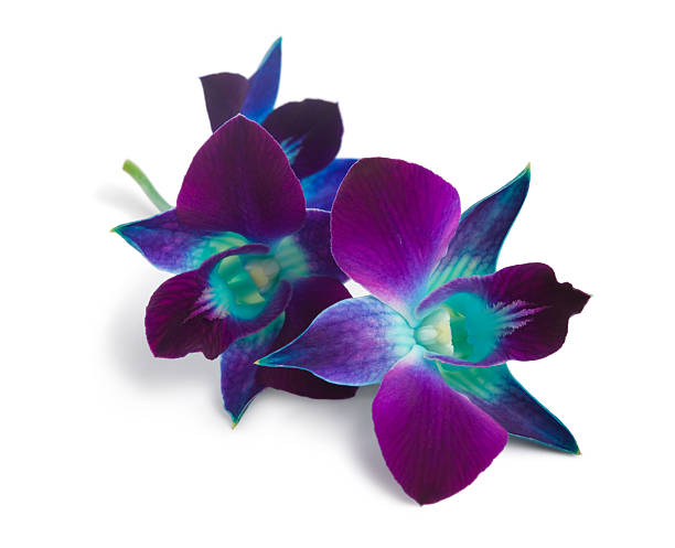 orchid - Photo