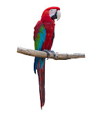 Blue and red macaw parrots on branch isolated on white background