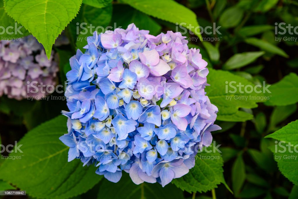 Blue and violet hortensia flowers stock photo