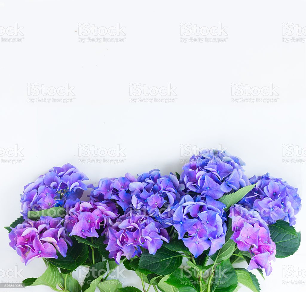 blue and violet hortensia flowers royalty-free stock photo