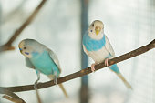 blue and white budgerigar parrot close up sits on tree branch in cage.