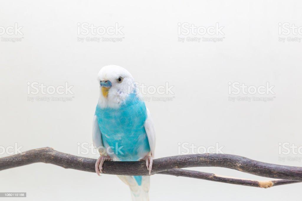 Photo Libre De Droit De Perruche Bleu Et Blanc Oiseau Perruche Ondulee Banque D Images Et Plus D Images Libres De Droit De Aile D Animal Istock