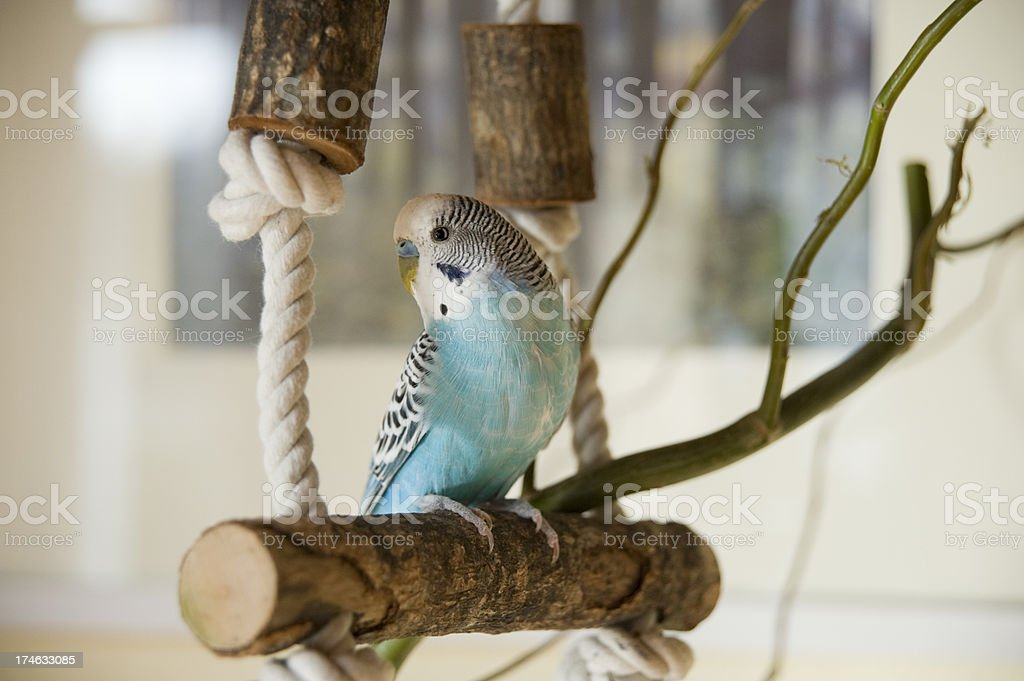 blue and white budgie stock photo