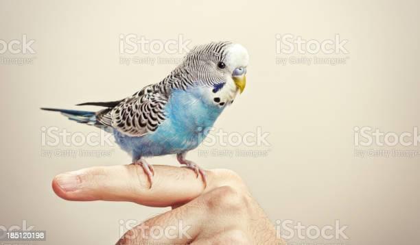 Blue and white budgie picture id185120198?b=1&k=6&m=185120198&s=612x612&h=ytxvjrsntkedwdcl81 jpaavkjitayyeyvwvspga8s4=