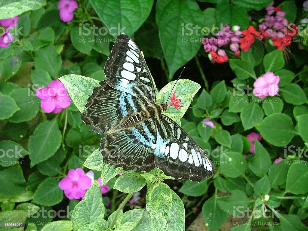 Blue and White Butterfly royalty-free stock photo