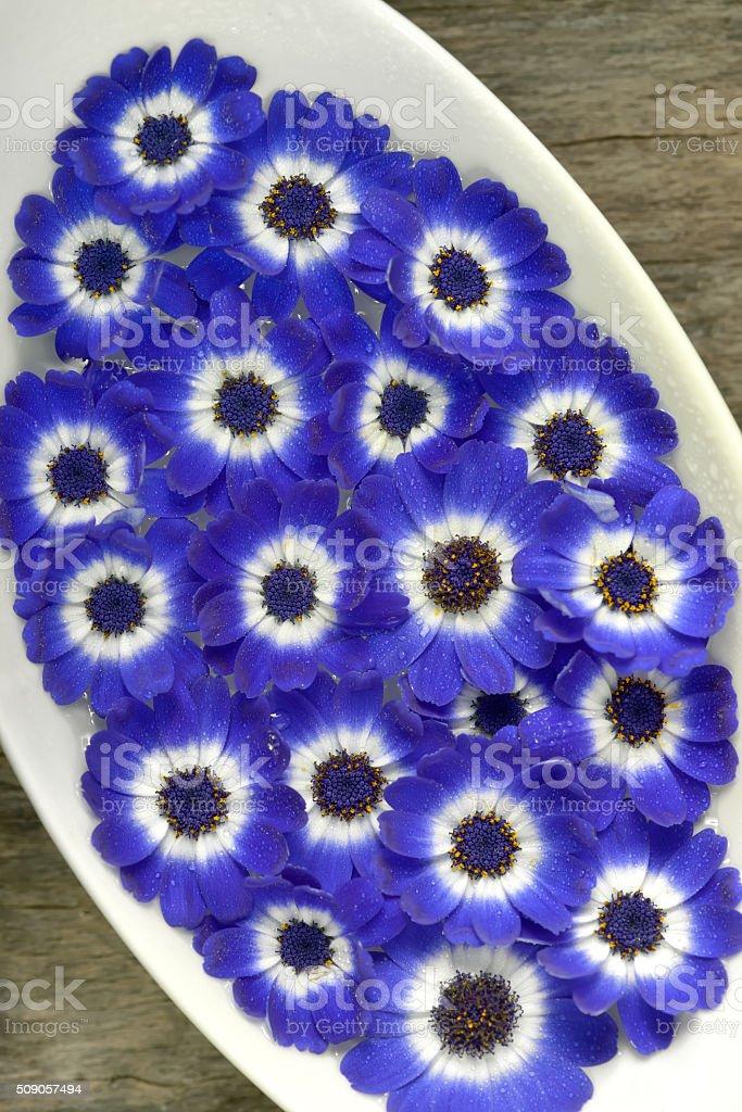 Fiori Blu E Bianchi.Blue And White Cineraria Flowers In A Vase Stock Photo Download