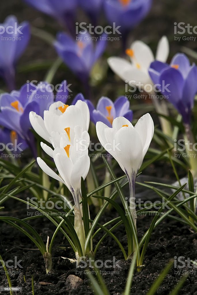Blue and white crocus royalty-free stock photo