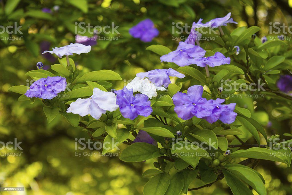Blue and White Flowers stock photo