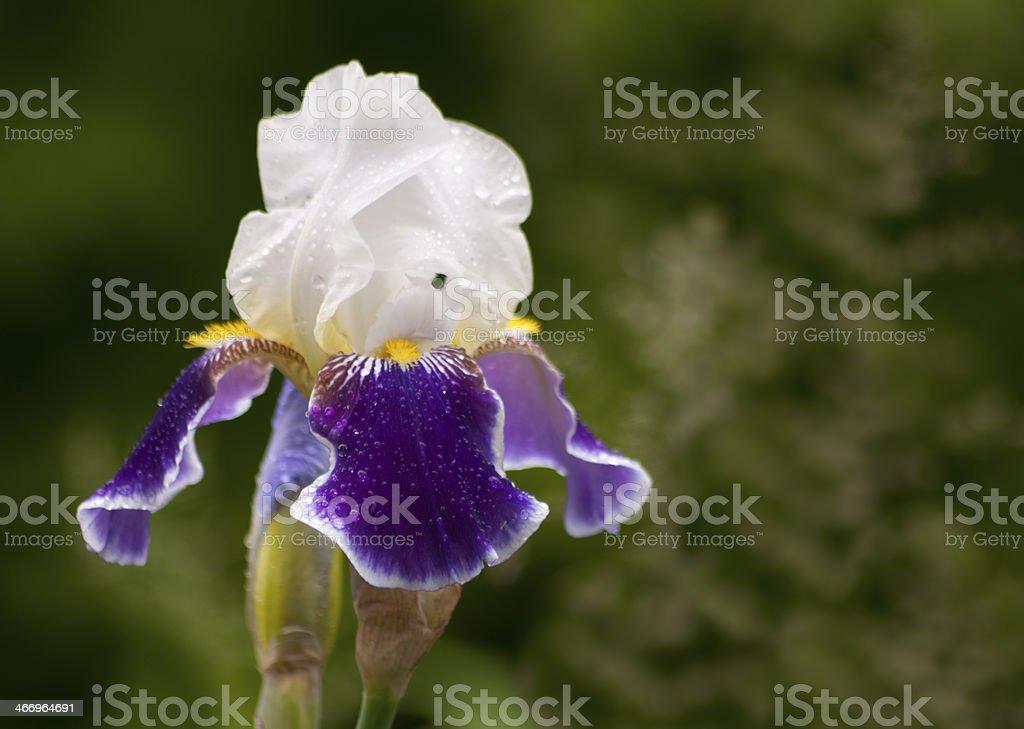 blue and white iris royalty-free stock photo