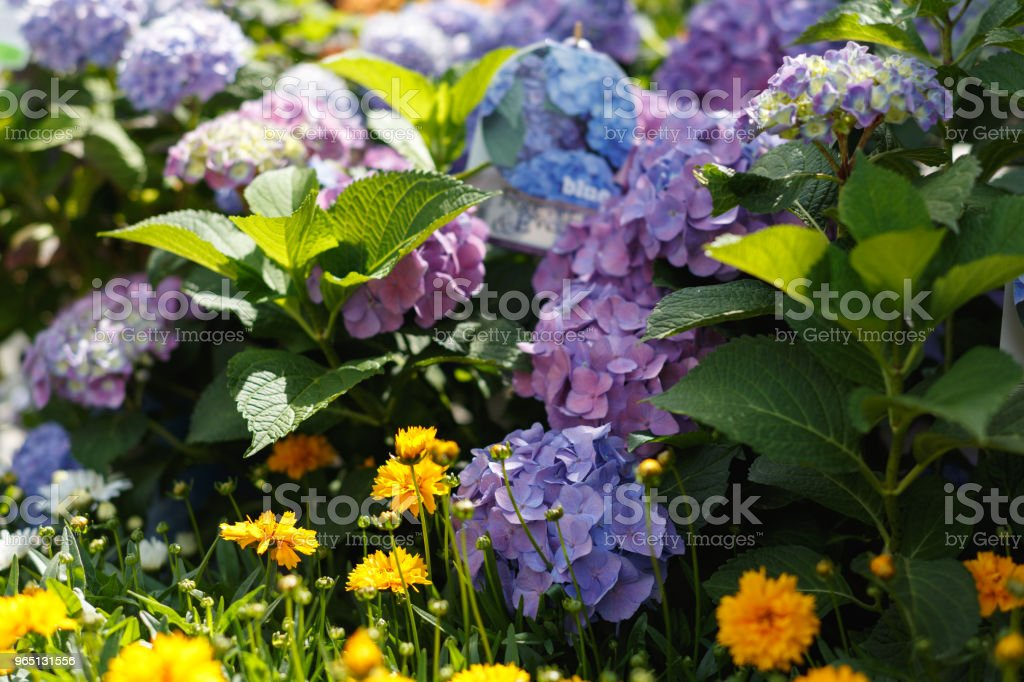 Blue and yellow decorative flowers on a flowerbed in the park royalty-free stock photo