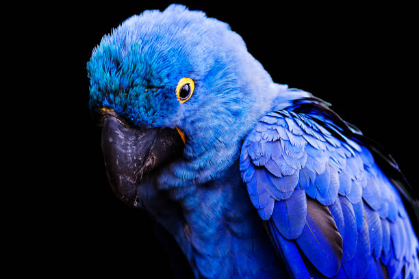 Blue and yellow, endangered Hyacinth Macaw (parrot) perched on a tree branch, on a black background stock photo