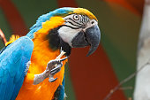 Macaw parrot Colorful , close up shoot