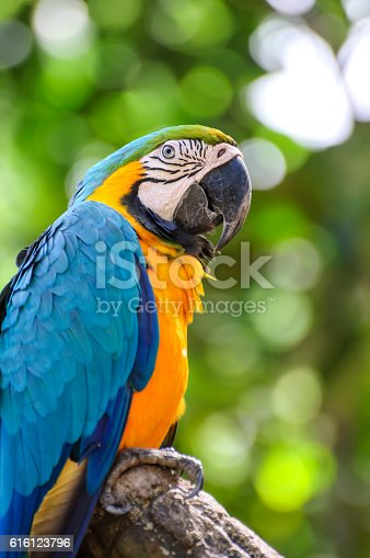 A blue and yellow macaw closeup
