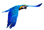 close-up of a flying blue and yellow macaw also known as blue and gold macaw on white background