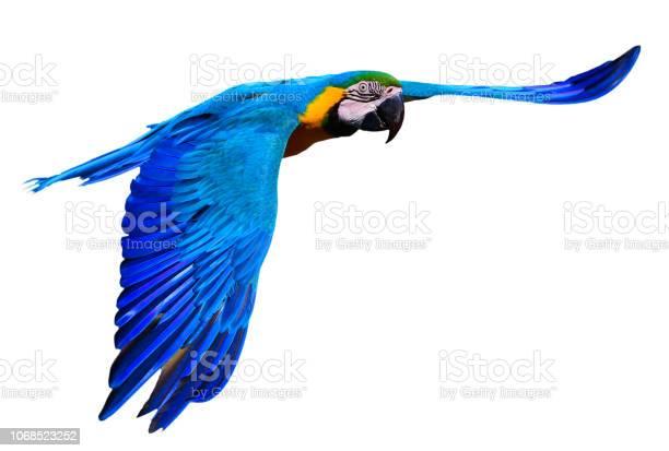 Blue and yellow macaw in flight picture id1068523252?b=1&k=6&m=1068523252&s=612x612&h=r tqmf7c0awoi hgdvup62vb257lz5tujzgukbtlaac=
