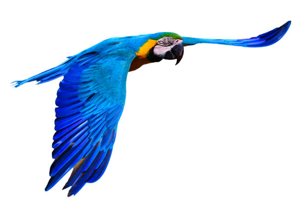 blue and yellow macaw (Ara ararauna) in flight close-up of a flying blue and yellow macaw also known as blue and gold macaw on white background parrot stock pictures, royalty-free photos & images