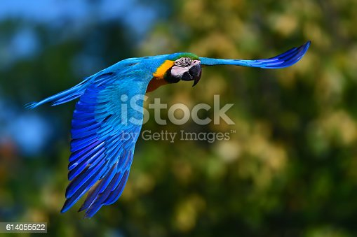 close-up of a flying blue and yellow macaw also known as blue and gold macaw