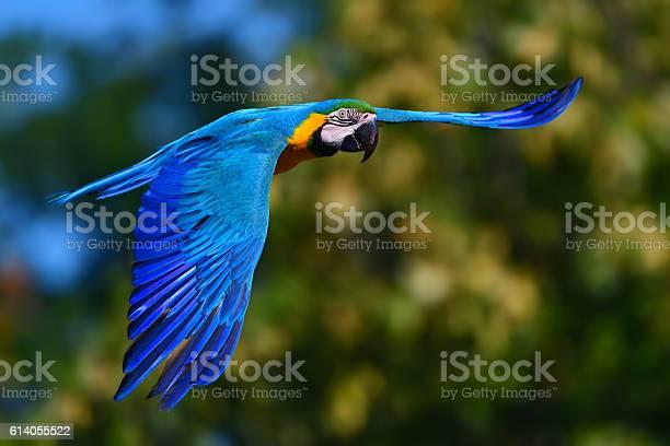 Blue and yellow macaw in flight picture id614055522?b=1&k=6&m=614055522&s=612x612&h=mefzqukv y6vacmt7tgsaqy2xkaifadapunv9otxm7c=