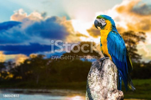 Blue and Yellow Macaw ( Arara ) in Pantanal, Brazil