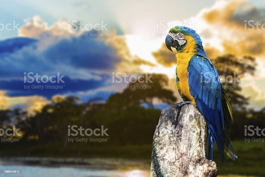 Blue and Yellow Macaw ( Arara ) in Pantanal, Brazil stock photo