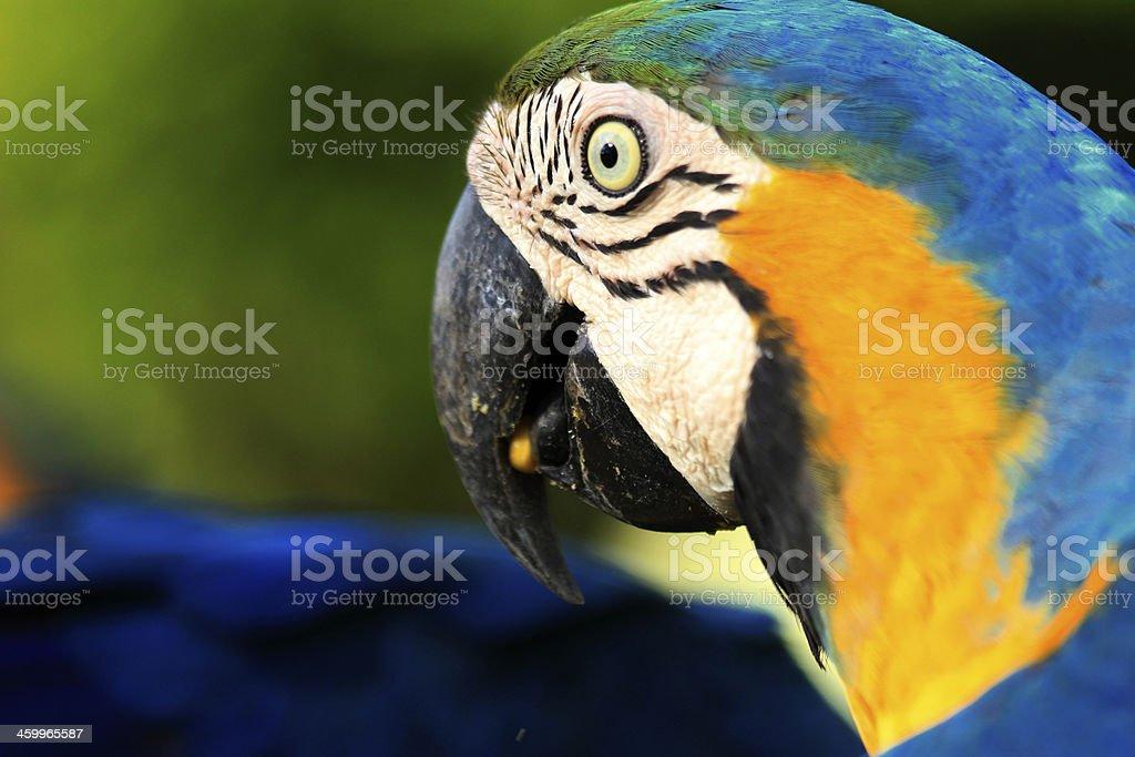 Arara-azul e amarelo no perfil - foto de acervo