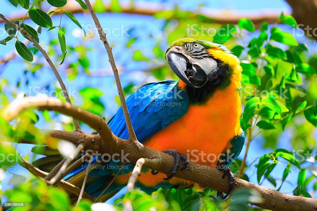 Arara-azul e amarelo na floresta amazônica selvagem brasileiro - foto de acervo