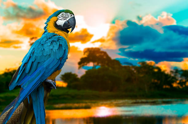 Blue and Yellow Macaw on the nature Blue and Yellow Macaw on the nature amazon river stock pictures, royalty-free photos & images