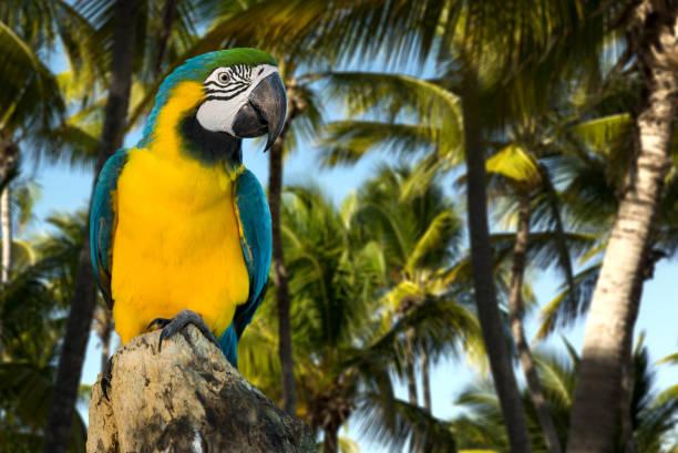 파란색과 노란색 마코앵무새 성격 - 생태 보전 지역 뉴스 사진 이미지